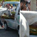 Cavalo vai ao funeral de seu melhor amigo humano para lhe prestar uma última homenagem